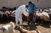 واکسیناسیون بیش از ۲ میلیون راس دام برعلیه بیماری تب برفکی در خوزستان