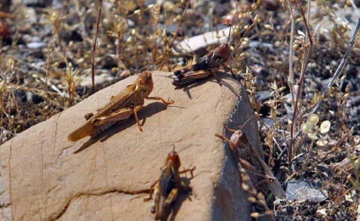 سطح مبارزه با ملخ صحرایی به بیش از ۹ هزار هکتار رسید
